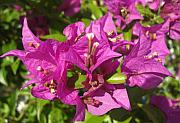 Greeting Card - Bougainvillea by Frederic Kohli