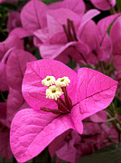 Glabra Framed Prints - Bougainvillea in Hot Pink Framed Print by Kaye Menner
