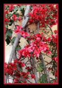 Pink Bougainvillea Posters - Bougainvillea on Mission Wall - Digital Painting Poster by Carol Groenen