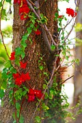 Wrapped Around Framed Prints - Bougainvillea wrapped around a tree Framed Print by John  Kolenberg