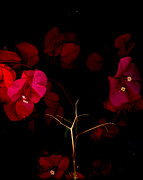Bougainvilleas Prints - Bougainvilleas 1 Print by David Hendrickson