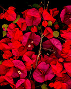 Bougainvilleas Prints - Bougainvilleas 2 Print by David Hendrickson