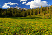 Scenic Idaho Prints - Boulder Mountains Blooming Alpine Buttercup Print by Ed  Riche