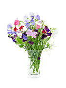 Flowering Posters - Bouquet of sweet pea flowers Poster by Elena Elisseeva