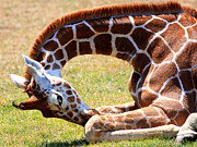Whimsical Animals  Art - Bowing Giraffe . 40D7803 by Wingsdomain Art and Photography