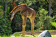 California Tourist Spots Prints - Bowing Giraffe Print by Mariola Bitner