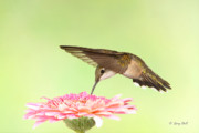 Hummingbird In Flight Posters - Bowing To The Nectar Gods Poster by Gerry Sibell