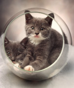 Kittens Photos - Bowled Over by Judi Quelland