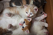 Kitty Cat Photo Prints - Box Full Of Kittens Print by Garry Gay