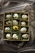Cardboard Posters - Box of quail eggs Poster by Garry Gay