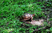 Wild Animals Pyrography Metal Prints - Box Turtle  Metal Print by The Kepharts