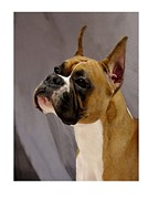Boxer Digital Art Metal Prints - Boxer 413 Metal Print by Larry Matthews