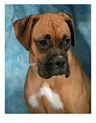 Boxer Digital Art Metal Prints - Boxer 624 Metal Print by Larry Matthews