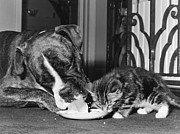 Boxer Metal Prints - Boxer And Kitten Metal Print by Evening Standard