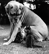 Dog And Cat Posters - Boxer And Kittens Poster by Ray Moreton