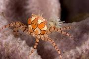 Boxer Crab On Sponge Lybia Tesselata Print by Tim Laman