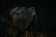 Boxer Dog Looking Up Print by STasker