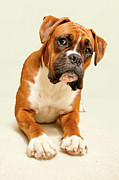 Dog Sitting Prints - Boxer Dog On Ivory Backdrop Print by Danny Beattie Photography