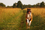 Boxer Dog Photos - Boxer Dog Running Happily Through Field by Stephanie McDowell