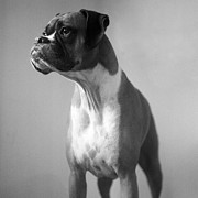 Boxer Dog Photo Framed Prints - Boxer Dog Framed Print by Stephanie McDowell