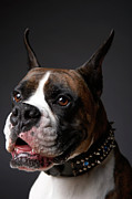 Pet Collar Posters - Boxer Dog With Ears Pricked, Close-up Poster by Chris Amaral