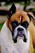Boxer Mixed Media Metal Prints - Boxer Expressions Metal Print by Laurel Sherman
