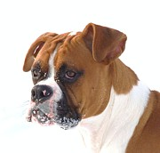 Dogs Swimming Photos Prints - Boxer King Print by Lisa  DiFruscio