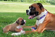 Boxer Digital Art Metal Prints - Boxer Mommy and Pup Metal Print by Renae Frankz