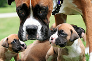 Boxer Mommy Watch Over Pups  Print by Renae Laughner