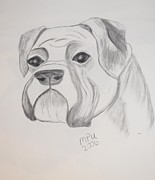 Boxer  Drawings Prints - Boxer No Crop Print by Maria Urso