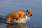 Boxer Dog Art Print Framed Prints - Boxer Playing in Water Framed Print by Stephanie McDowell