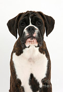 Boxer Puppy Prints - Boxer Pup Print by Mark Taylor