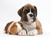 House Pets Posters - Boxer Puppy And Guinea Pig Poster by Mark Taylor