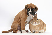 House Pet Prints - Boxer Puppy And Netherland-cross Rabbit Print by Mark Taylor