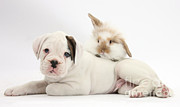 House Pet Prints - Boxer Puppy And Young Fluffy Rabbit Print by Mark Taylor