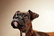 Boxer Framed Prints - Boxer Puppy Framed Print by Chad Latta
