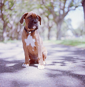 Pet Collar Posters - Boxer Puppy Poster by Diyosa Carter