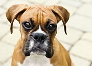 Camera Posters - Boxer Puppy Poster by Jody Trappe Photography