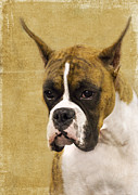 Boxer Photo Framed Prints - Boxer Framed Print by Rebecca Cozart