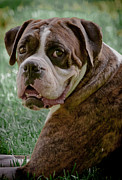Brindle Prints - Boxer Smiles Print by DigiArt Diaries by Vicky Browning