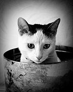 Cats Photo Metal Prints - Boy George Metal Print by Cabral Stock