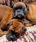 Boxer Dog Photo Framed Prints - Boys Asleep Framed Print by Kenton Smith