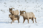 Bighorn Photos - Boys Night Out by Sandra Bronstein