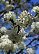 Bradford Posters - Bradford Pear Blossoms enhanced Poster by Suzanne Gaff