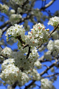 Bradford Photos - Bradford Pear Blossoms by Suzanne Gaff