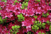 Azaleas Photos - Brag Brag by Valerie Rakes