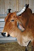 LeeAnn McLaneGoetz McLaneGoetzStudioLLCcom - Brahman Cow