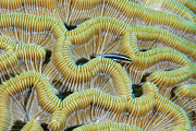 Sea Life Posters - Brain Coral Poster by Robin Wilson Photography