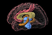 Neurology Art - Brain Limbic System, 3-d Mri Scan by Arthur Togaucla