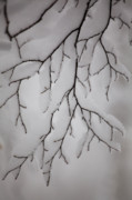 Wintry Photo Prints - Branch Print by Gabriela Insuratelu